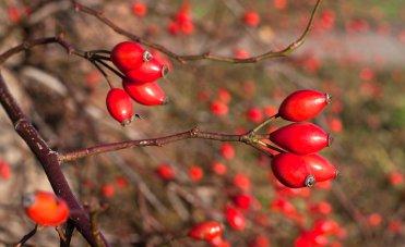 Frutti rossi,  alimentazione inverno