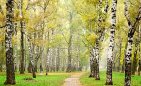 Betulla dalle proprietà diuretiche e depurative