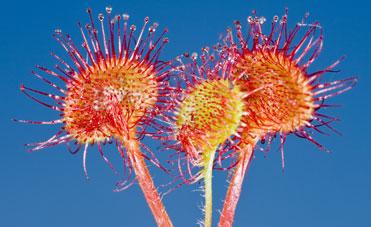 La pianta della drosera